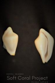 Primovula (Adamantia) sinomaris