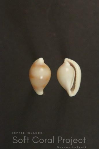 Pseudosimnia (Diminovula) whitworthi