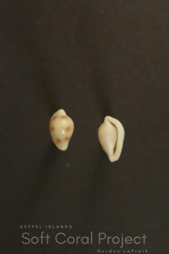 Pseudosimnia (Diminovula) aurantiomacula
