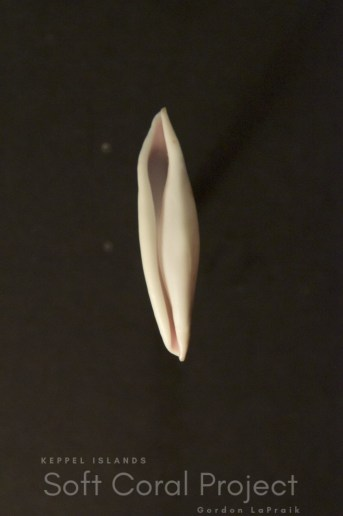 Phenacovolva (Phenacovolva) species (ventral)