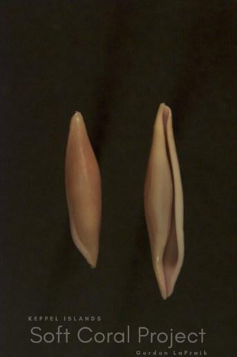 Phenacovolva (Phenacovolva) species