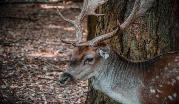 primo piano cerbiatto foresta umbra