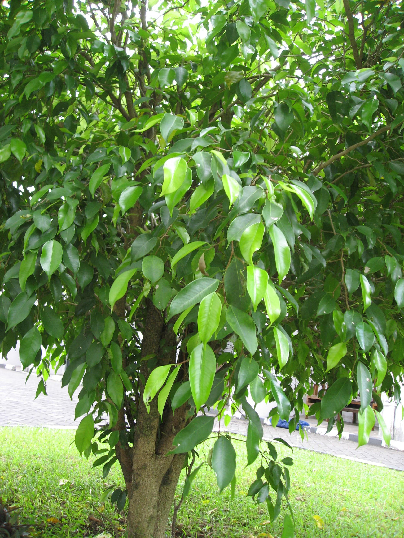 Beringin Pohon Kokoh Ampuh Obati Radang Usus Akut  Sogol