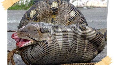 ular sawa telan mangsa