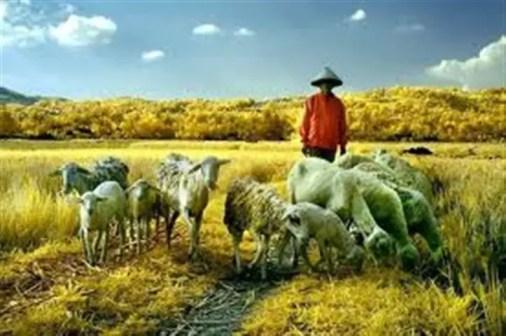 Pengembala kambing adalah suatu pekerjaan yang mulia