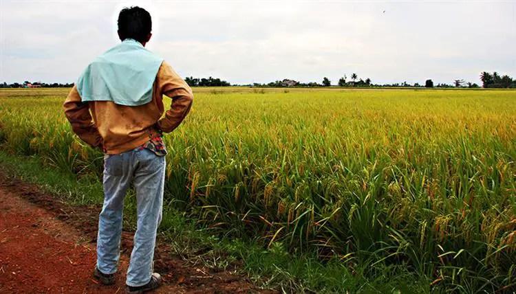 sawah padi