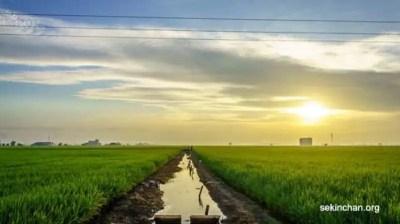 gambar sawah padi cantik