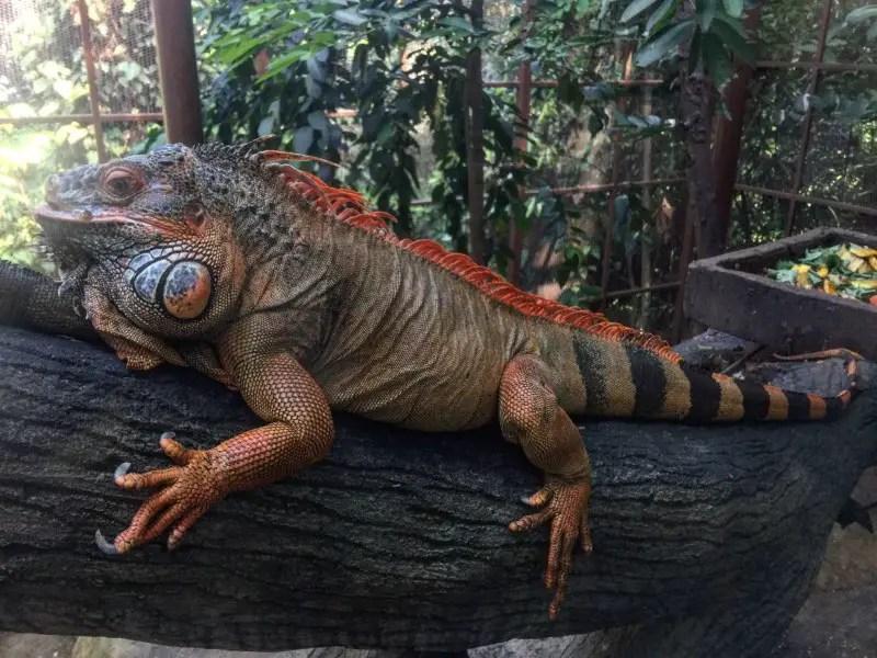 kl-tower-mini-zoo-iguana