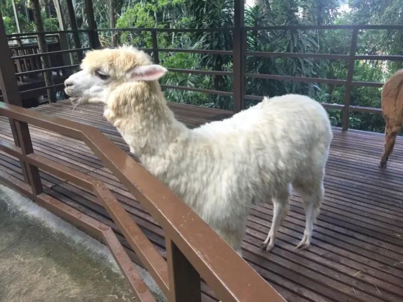 kl-tower-mini-zoo-lama