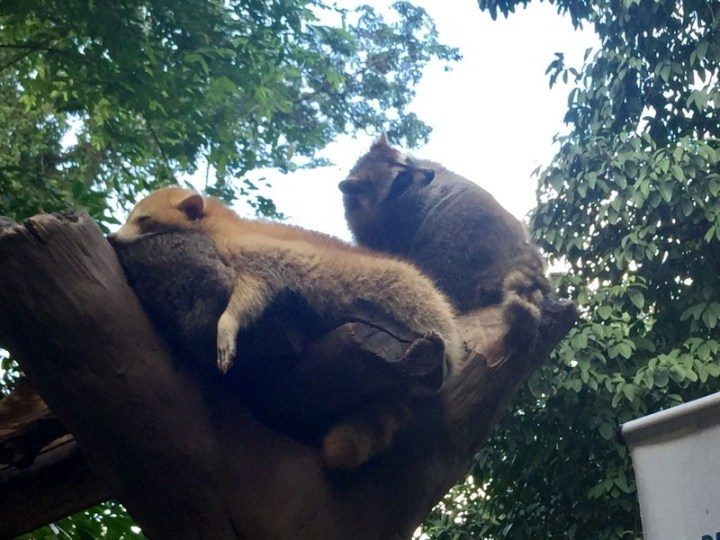 kl-tower-mini-zoo-raccoon-2