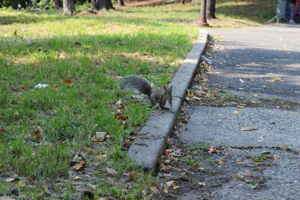 Ecureuil à Central Park