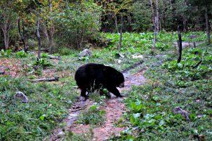 Ours noir de la Mauricie
