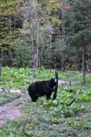 Observation de l'Ours noir en Mauricie
