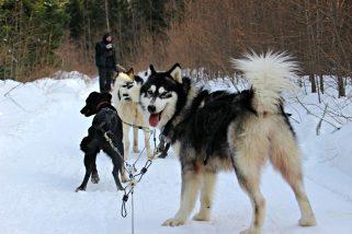 Traîneau a chiens