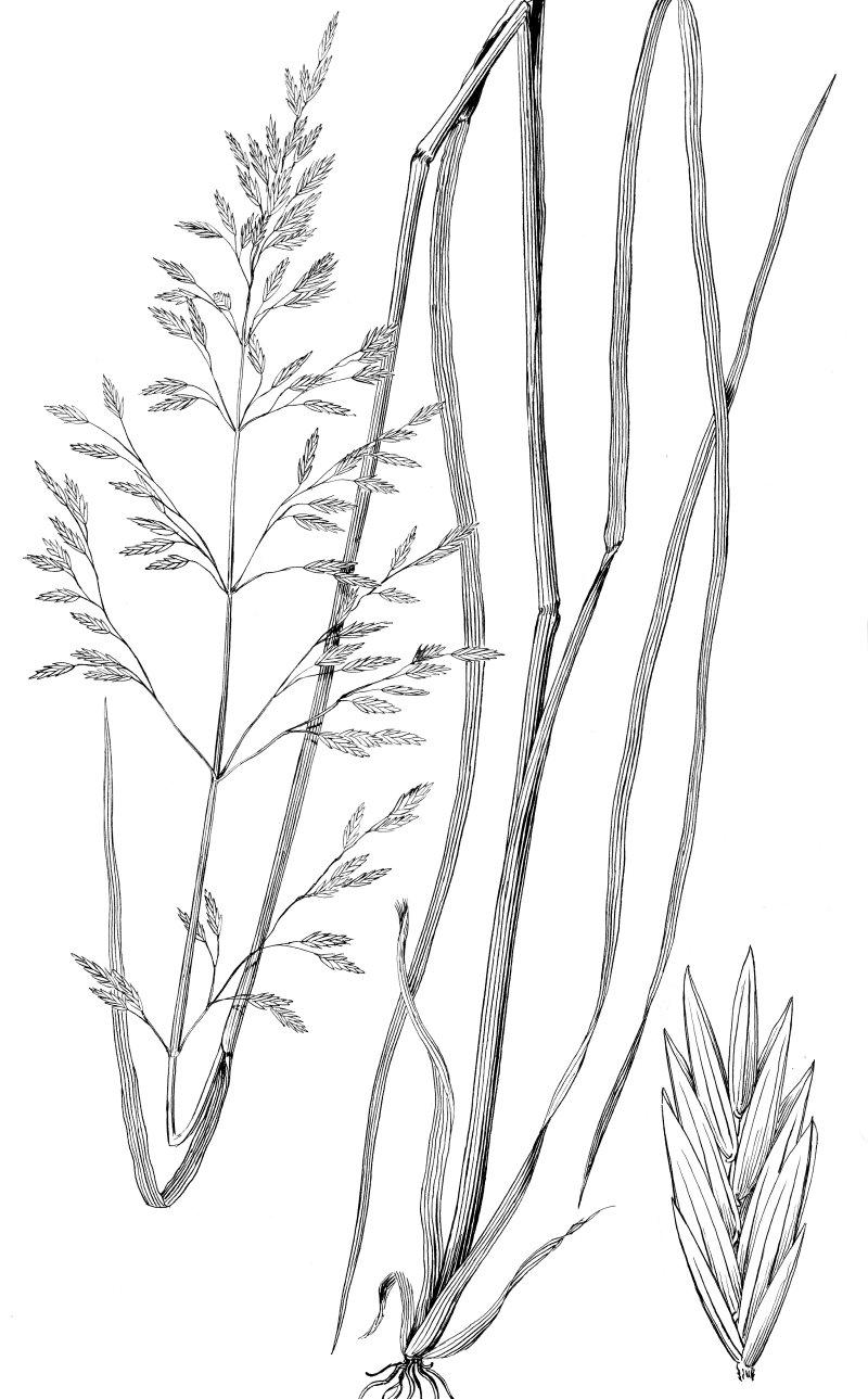 Tall Fescue (Festuca arundinacea)