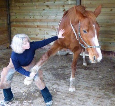 Etirement du membre antérieur du cheval.
