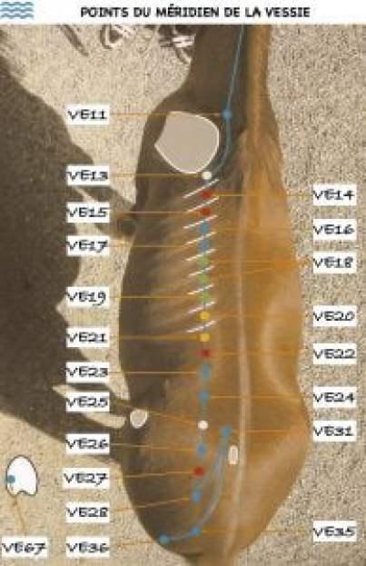 meridien-vessie-cheval
