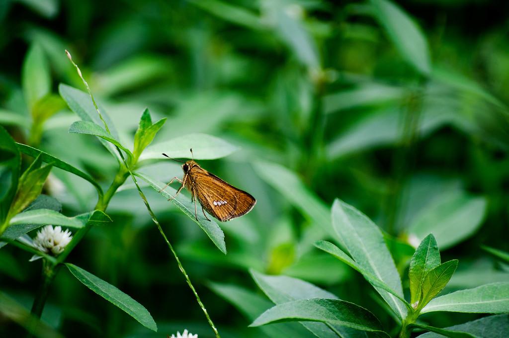 Common Straight Swift (Parnara guttata)