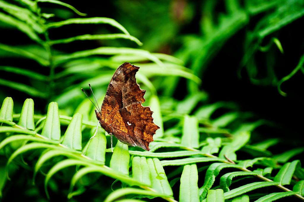 Asian Comma (Polygonia c-aureum)