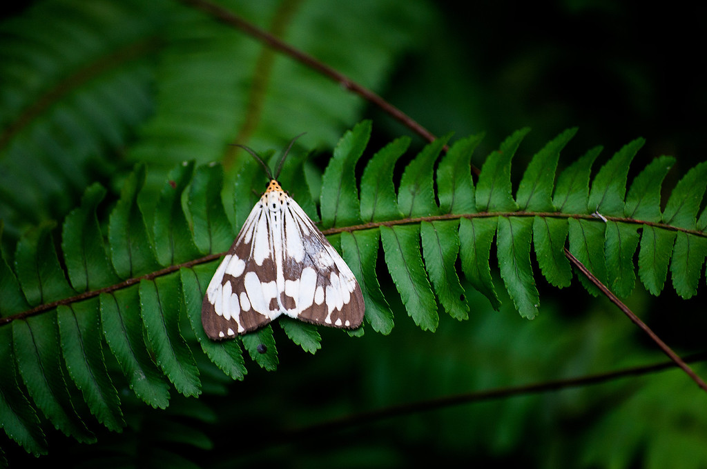 Marbled White Moth (Nyctemera adversata)