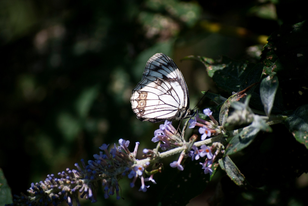 Staudinger's Marbled White (Melanargia epimede)