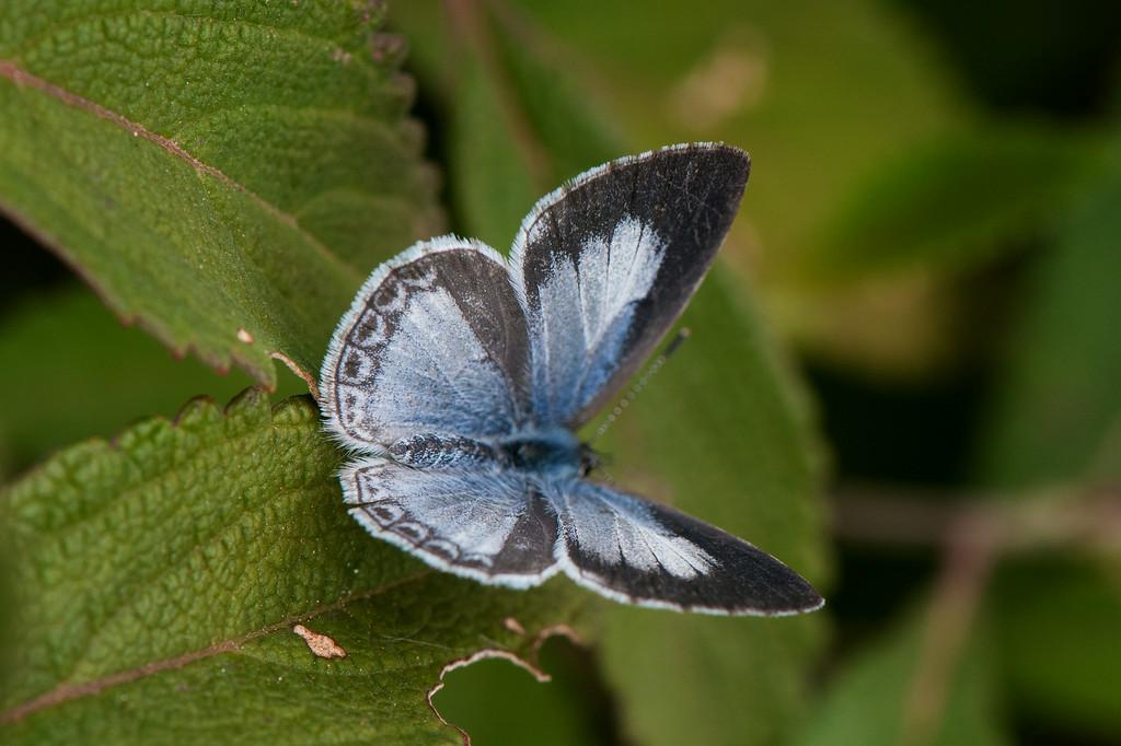 Plain Hedge Blue (Calestrina lavendularis) female