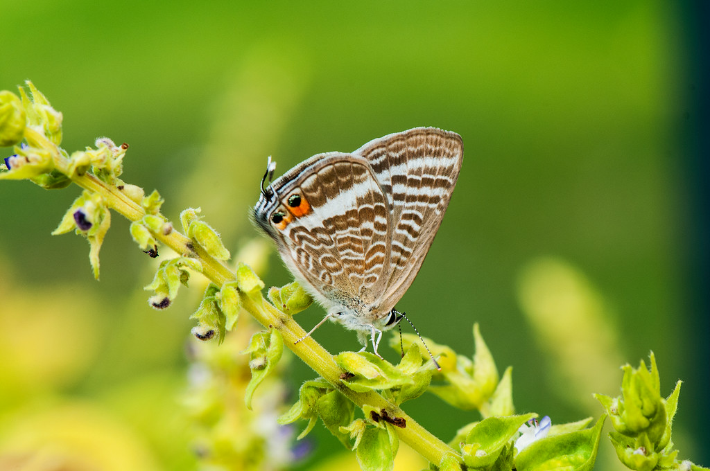 Pea Blue  Long-tailed Blue (Lampides boeticus)