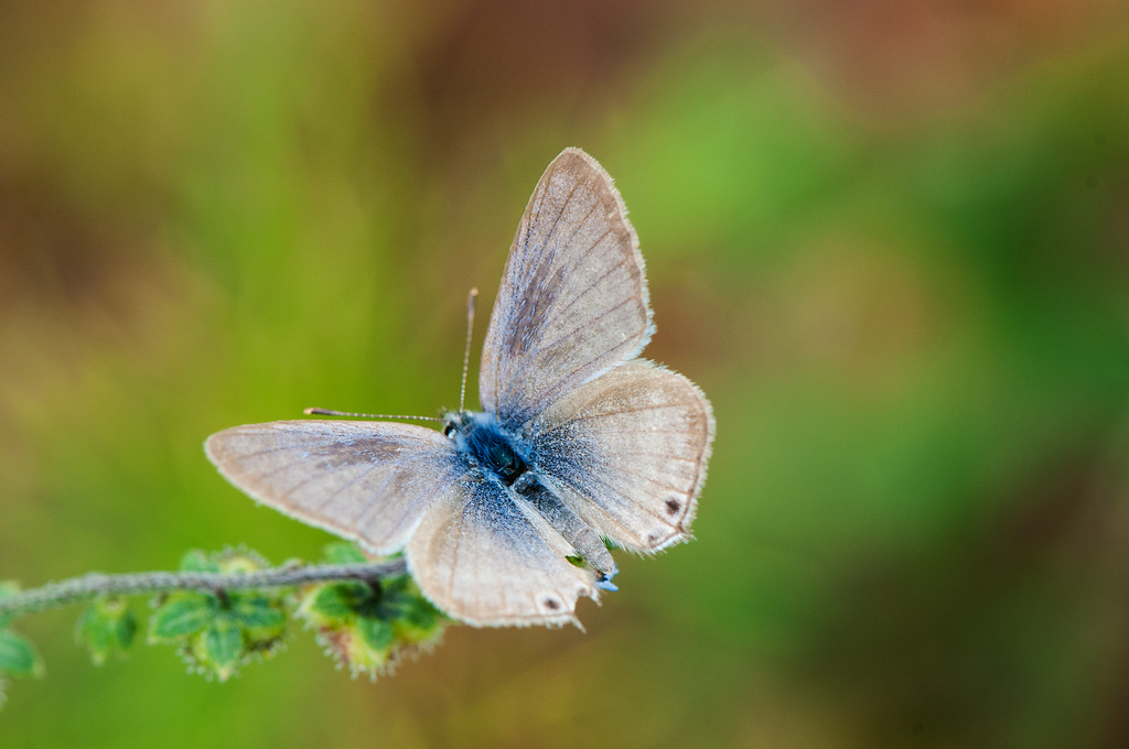Pea Blue  Long-tailed Blue (Lampides boeticus) male