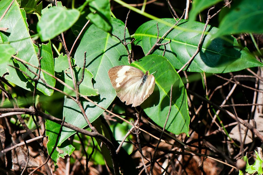 Yellow Orange Tip (Ixias pyrene yunnanensis) female