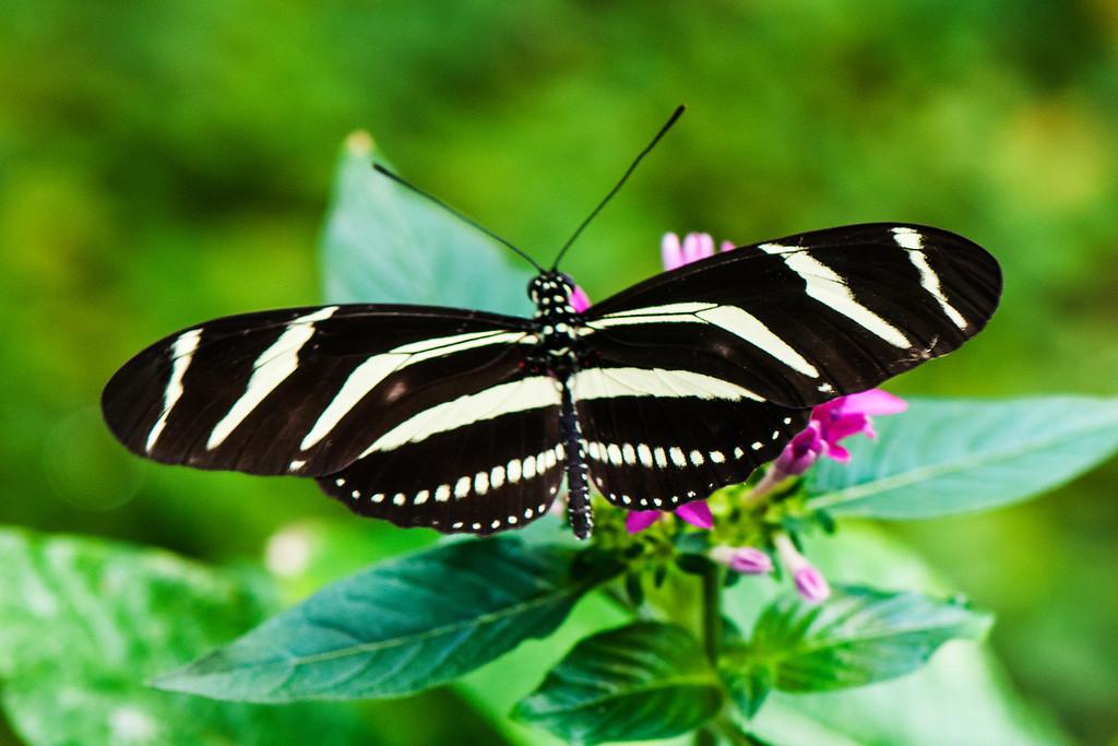 Zebra Longwing (Heliconius charitonius tuckeri)