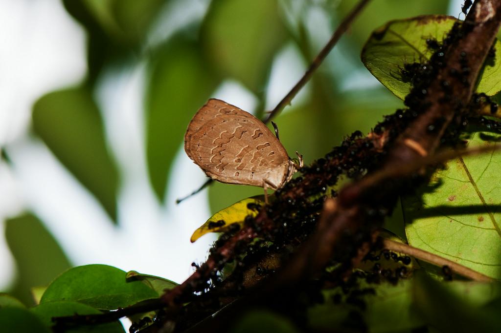 Great Brownie  (Miletus symethus perlucidus)