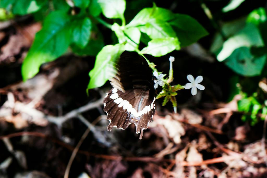 Common Mormon (Papilio polytes javanus) female