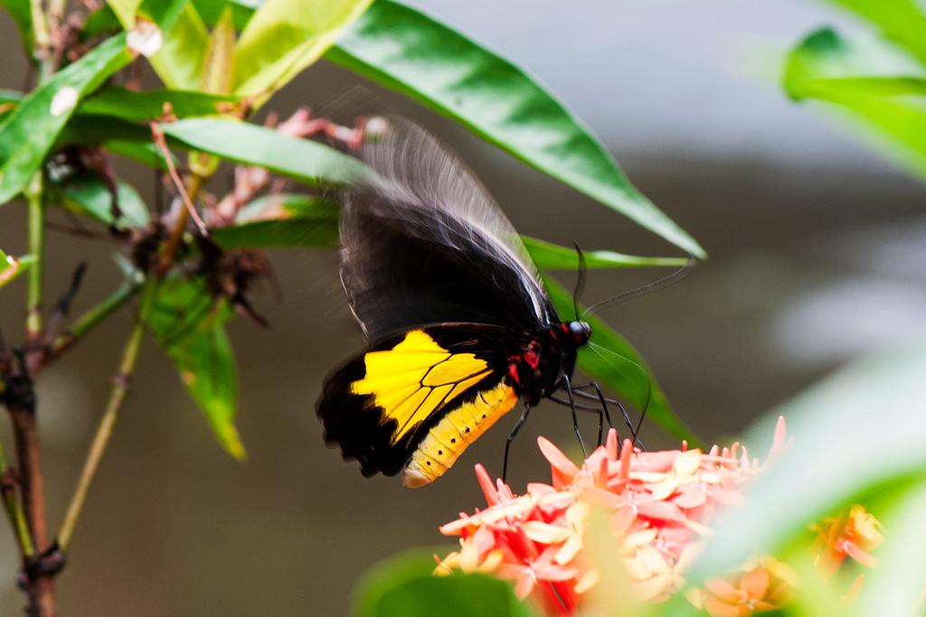van de Poll's Birdwing (Troides vandepolli vandepolli)