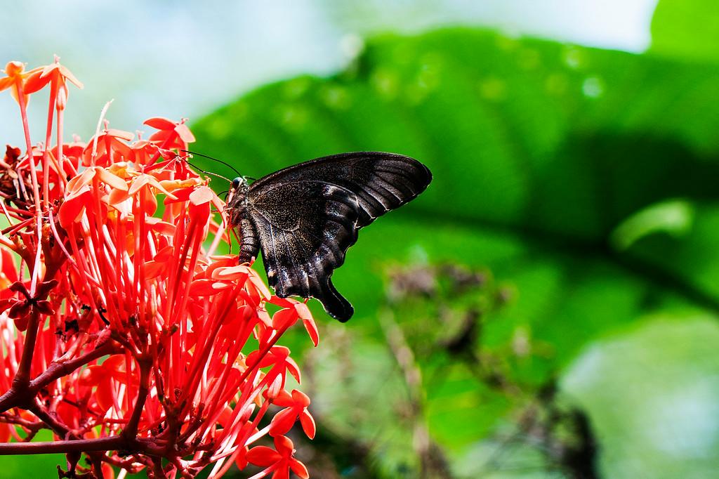 Blue Swallowtail (Papilio peranthus transiens)