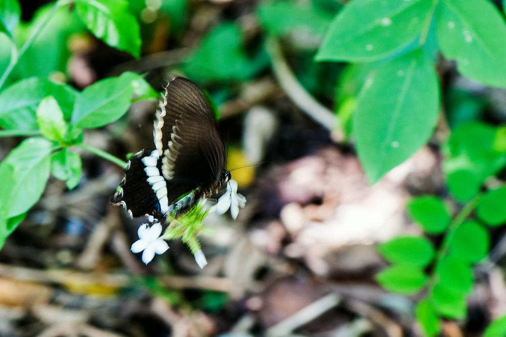 Common Mormon (Papilio polytes javanus) male