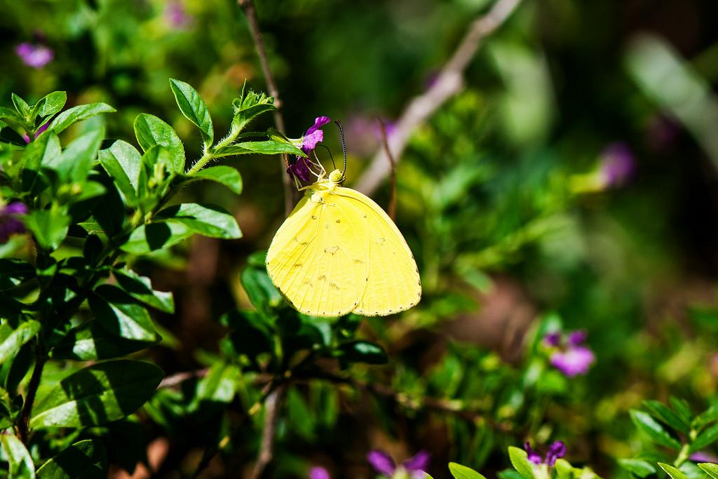 One Spot Grass Yellow (Eurema andersoni udana)