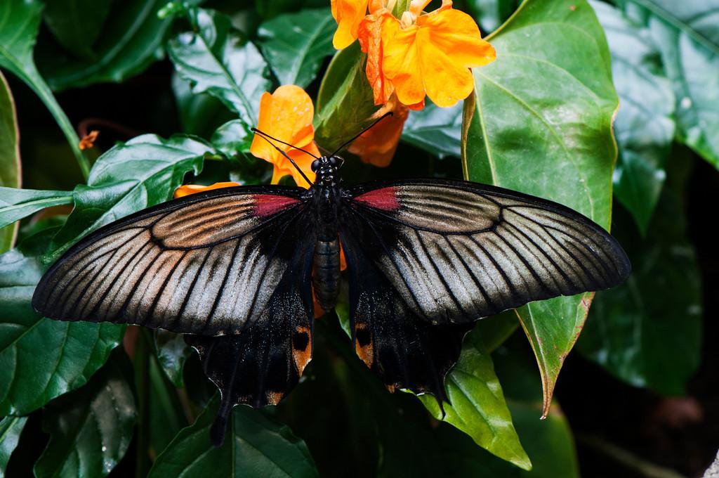 Great Yellow Mormon (Papilio lowii) female