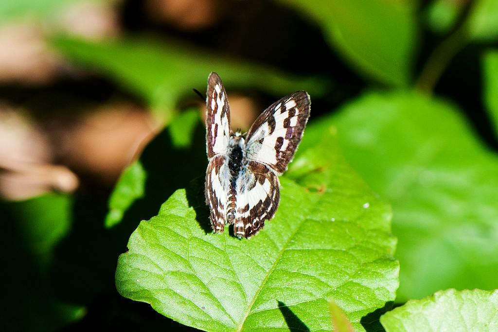 Common Pierot (Castalius rosimon rosimon) male