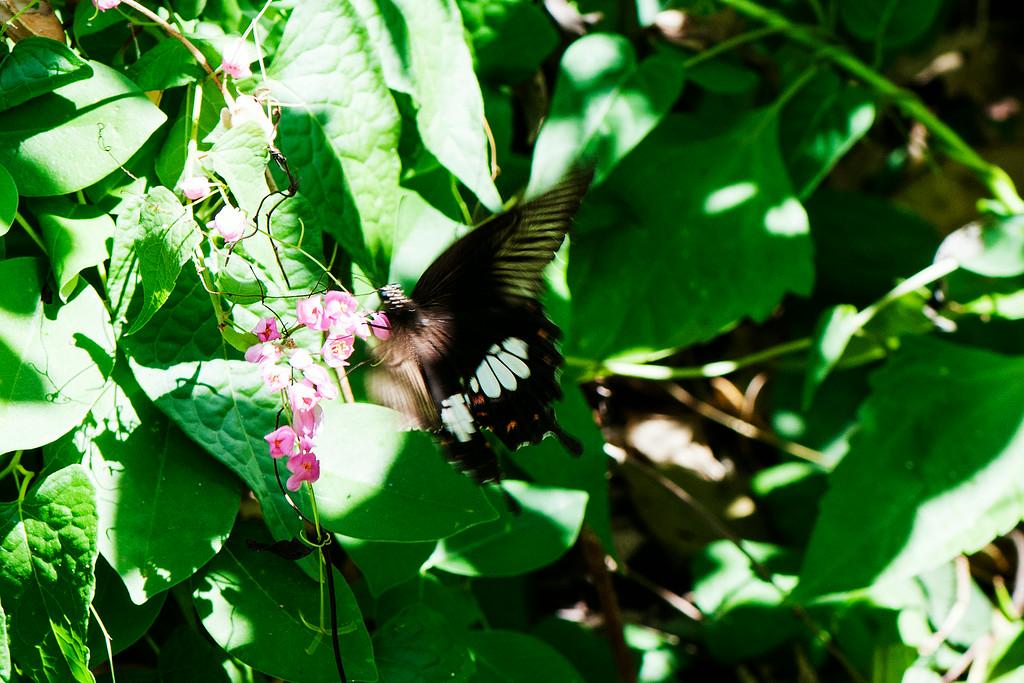 Common Mormon (Papilio polytes javanus) female  (1)