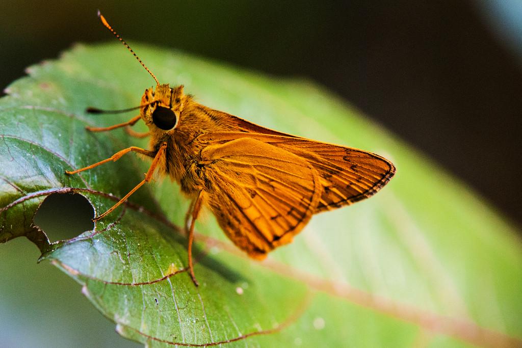 Bright-orange Darter or Palm Dart (Telicota augias)