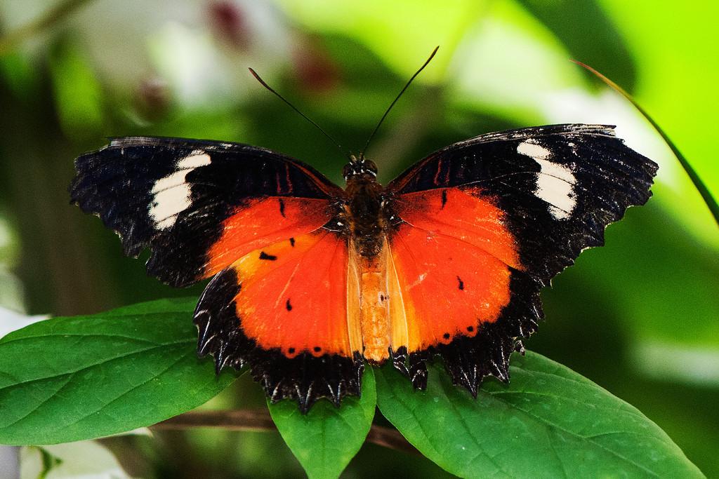 Malay Lacewing (Cethosia hypsea hypsina)