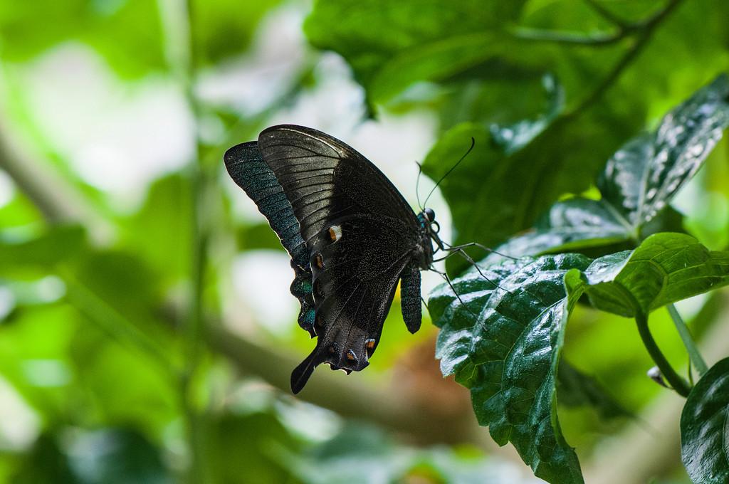 Banded Peacock (Papilio palinurus palinurus)