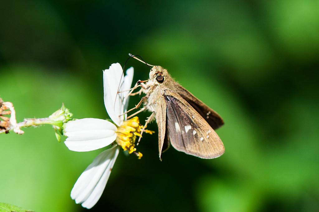 Formosan Swift (Borbo cinnara)