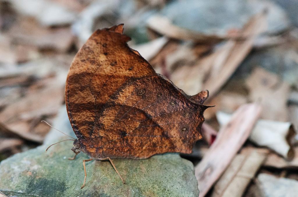 Common Evening Brown (Melanitis leda leda)