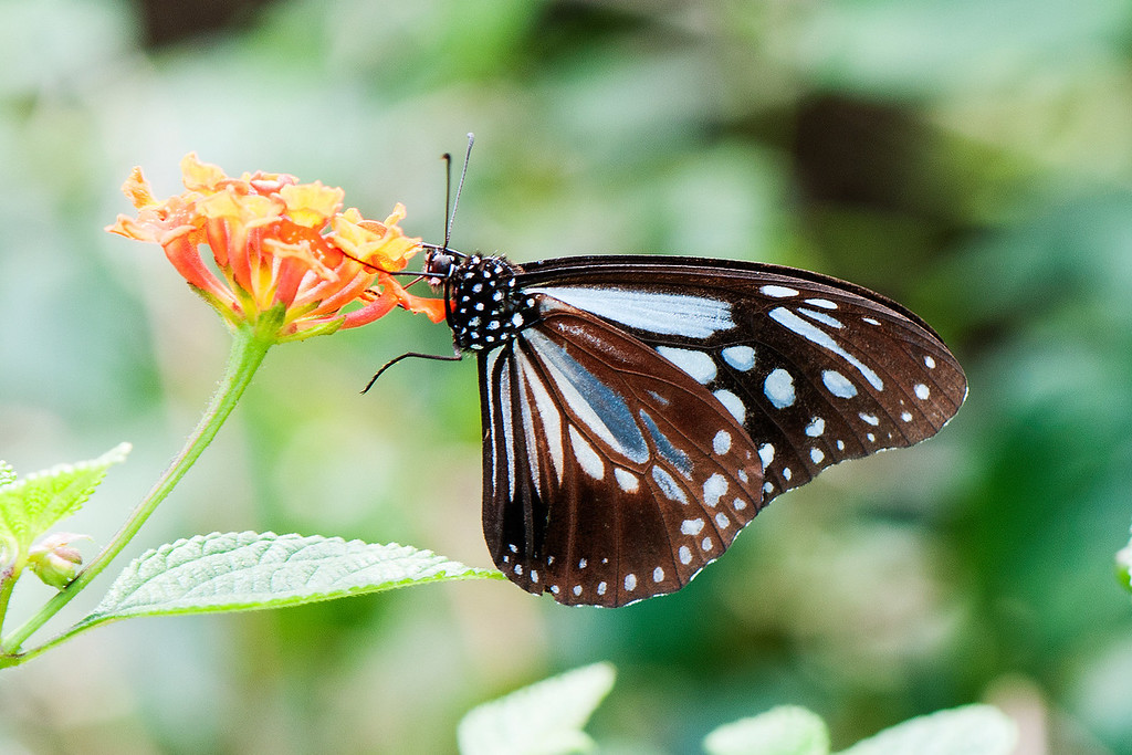 Chestnut Tiger  (Parantica sita niphonica)