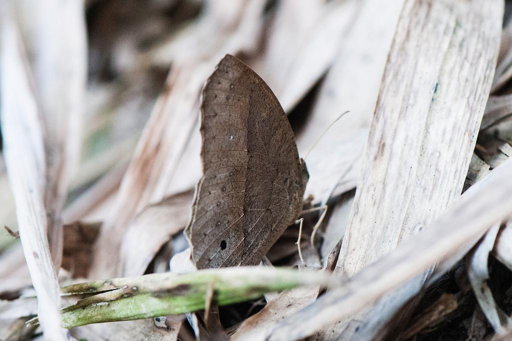 Dark-branded Bushbrown (Mycalesis mineus)