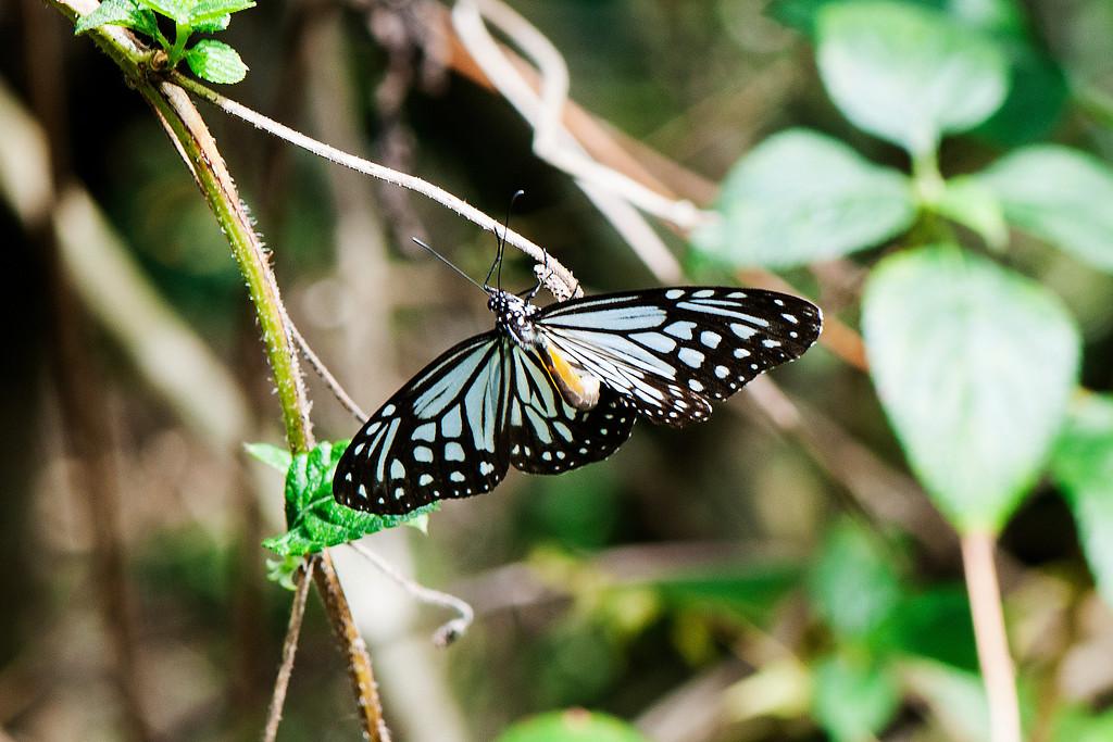 Glassy Tiger (Parantica aglea maghaba)