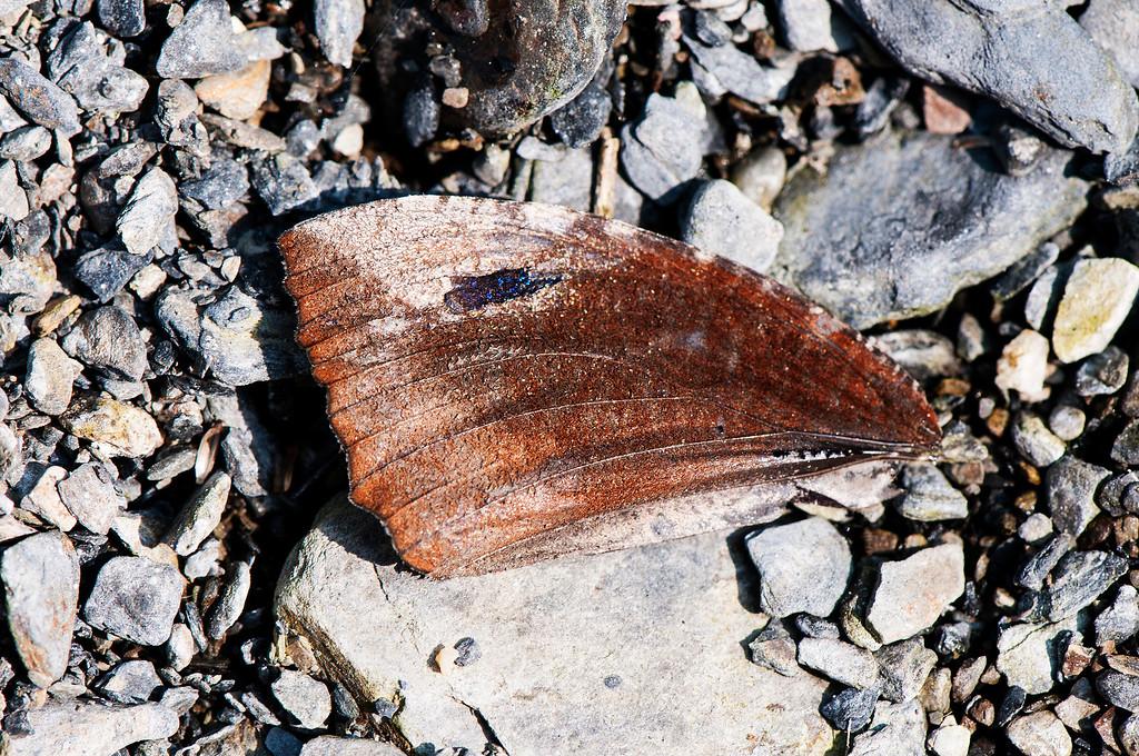 Common palmfly (Elymnias Hypermnestra hainana