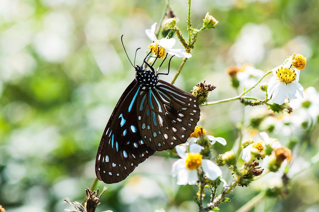 Dark Blue Tiger (Tirumala septentrionis)