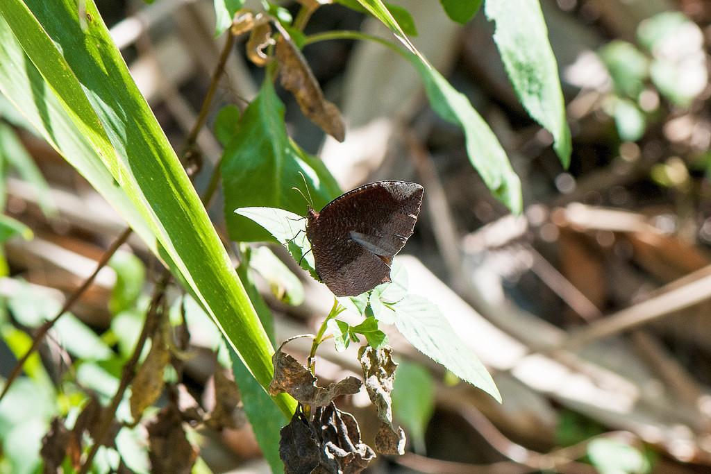 Common palmfly (Elymnias Hypermnestra hainana)
